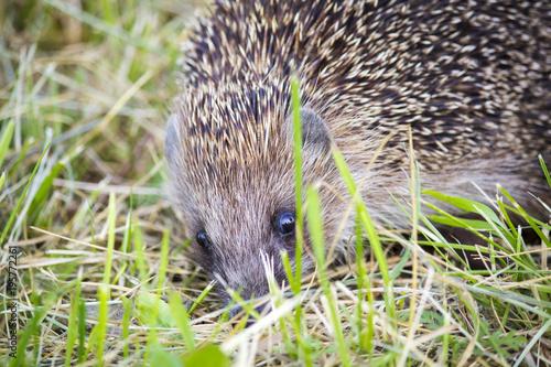 Papiers peints Hyène Hedgehog in the grass barbed. wild nature