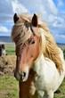 Portrait of Icelandic Horse - Pinto