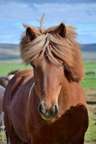 Aluminium Paarden Icelandic horse - chestnut