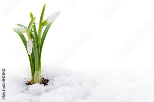 Fototapeta Snowdrop and snow.