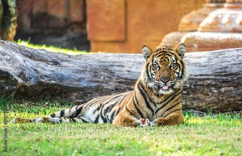 Aluminium Tijger Tiger Sitting