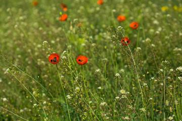 Wild poppies flowers in a summer field.