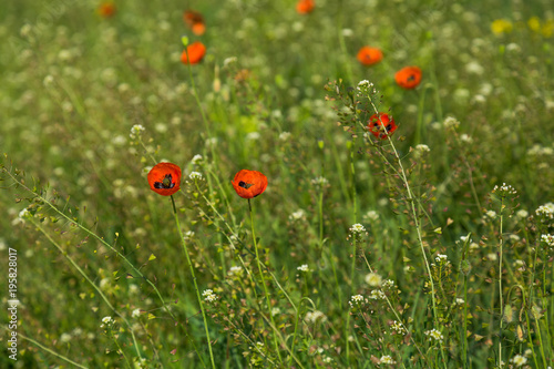 Fotobehang Klaprozen Wild poppies flowers in a summer field.