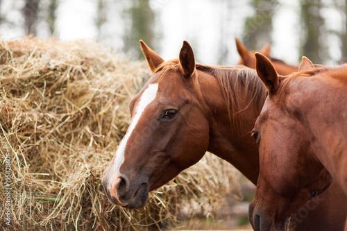 Aluminium Paarden Portrait of a horse eating