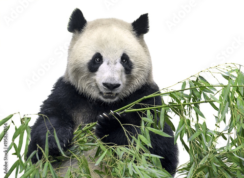 Plexiglas Panda Isolated panda. Big panda bear holding a bunch of bamboo branches with leaves isolated on white background