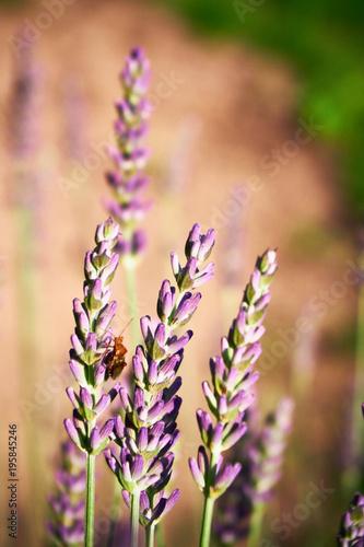 Fotobehang Lavendel beetle on lavender flowers