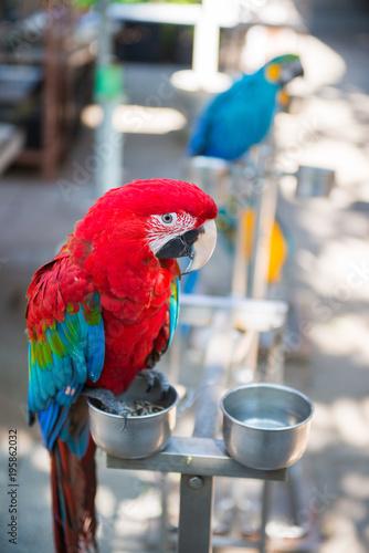 Fototapeta Red parrot at Yuen Po street bird market