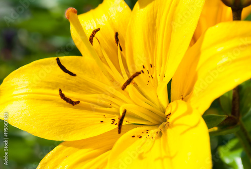 Aluminium Geel Spring sunny flower background. Lily flower of yellow color blooming in the garden