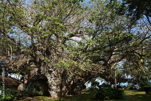 Keuken foto achterwand Baobab Ältester und größter über 500 Jahre alter Baobab Baum in Kenia