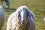 Flock of sheep grazing - 195872498