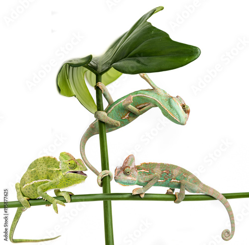 Fototapeta three little chameleons - Chamaeleo calyptratus on white