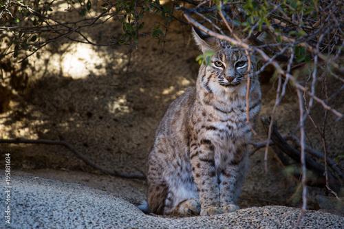 Fotobehang Kat Bobcat