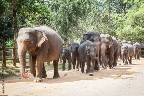 Fototapeta Pinnawala Elephant Orphanage, Sri Lanka