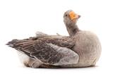 One grey goose. - 195882845