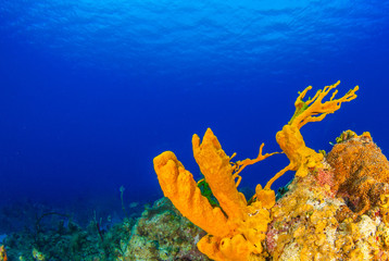 Yellow tube sponges can be seen growing out of a coral reef. The tropical waters are in the warm Caribbean sea around the Cayman Islands. The surrounding deep blue water is very clear