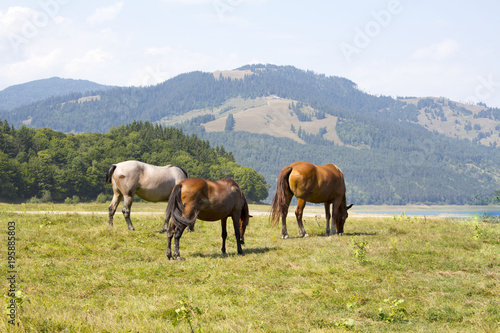 Fotobehang Paarden Three horses grazing on green pasture in Carpathian mountain valley. White and brown horses feeding on the meadow. Concept of power.