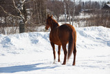 Red horse on white snow - 195889204
