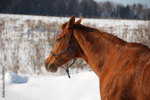 Fotobehang Paarden Red horse on white snow