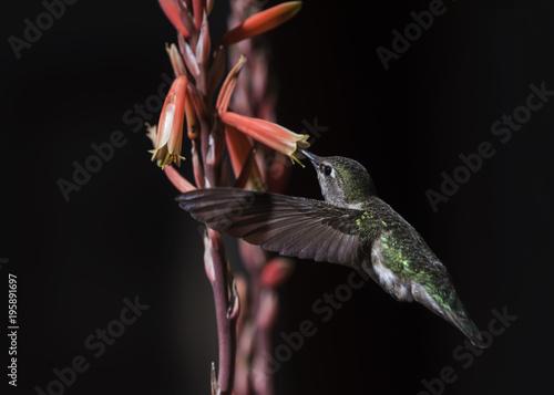 Anna Hummingbird (Calypte Anna) Karmienie w locie