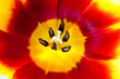 Yellow and red tulip close-up