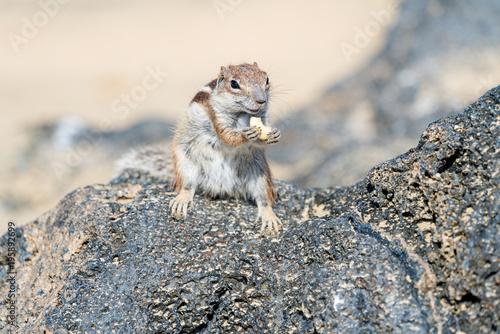 Poster Canarische Eilanden Barbary Ground Squirrel Squirrel, Fuerteventura, Canary Island