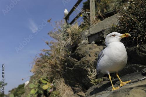 Fotobehang Liguria Ligurian seagull posing for the photographer