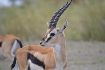 Gazelle de profil