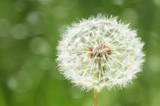 one big dandelion flower closeup with dark green grass background