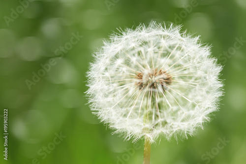 Aluminium Paardenbloemen one big dandelion flower closeup with dark green grass background