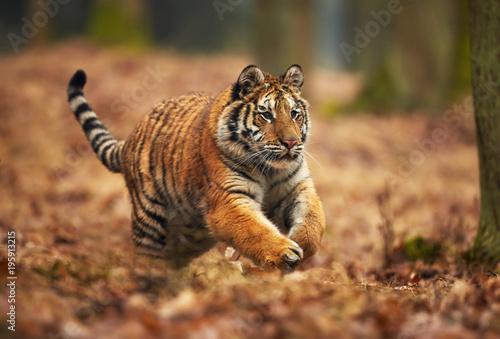 Aluminium Tijger Amur tiger running in the forest. Action wildlife scene with danger animal. Siberian tiger, Panthera tigris altaica