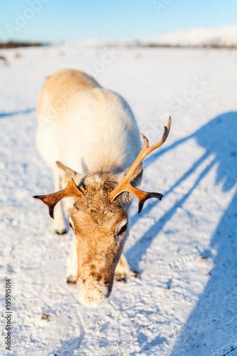 Foto op Canvas Natuur Reindeer in Northern Norway