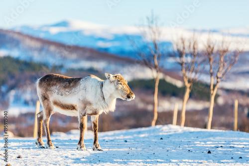 Renifery w północnej Norwegii