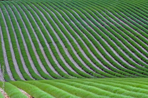 Fotobehang Lavendel Champ de lavande verte avant floraison. La lavande forme des rubans végétaux verts sur un sol de cailloux gris.