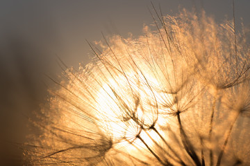 Dandelion closeup against sun and sky during the dawn