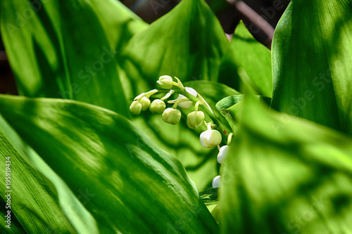 Aluminium Lelietjes van dalen spring May lily of the valley growing among green leaves in a green garden