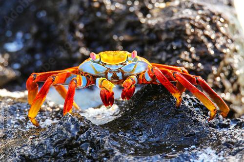 Sally lightfoot crab on Espanola Island, Galapagos National park, Ecuador.