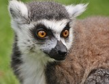 Ring-tailed Lemur (Lemur catta), found only on the African island of Madagascar.