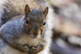 Funny grey squirrel in autumn - 195939468