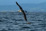 Salvin's Albatross at sea New Zealand - 195940270