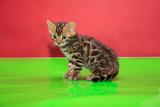 Cute bengal kitten is sittiing on a green mirror flooring. - 195948296