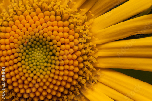 Beautiful yellow daisy is growing on a spring medow close up.
