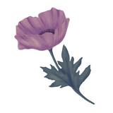 Poppy flower blooming