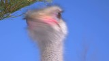 The head of the African ostrich close-up and the crystal blue sky. - 195949625