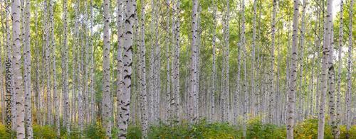 초가을에 찾아간 자작나무숲