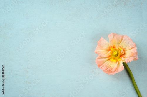 Staande foto Klaprozen Gartenmohn (papaver orientale) auf blau lasierten Holzuntergrund