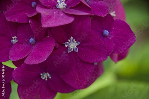 Aluminium Hydrangea ピンク紫のあじさい