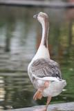 Pretty duck - 195974292