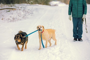 Two dogs walk outdoors in winter. A yellow Labrador Retriever dog leads a mongrel dog on a leash