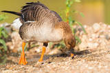 Greater white fronted goose - 195979466