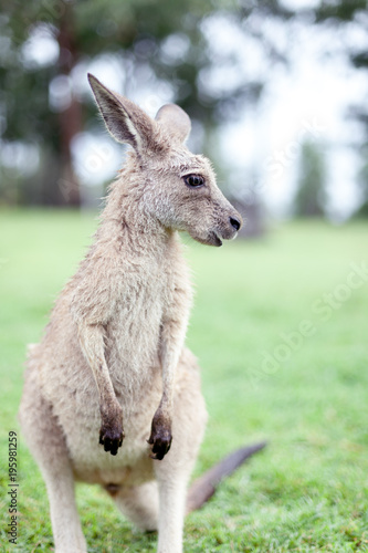 Aluminium Kangoeroe kangaroo in Australia